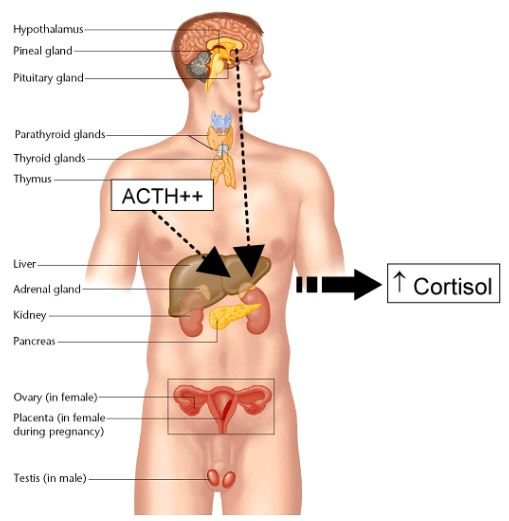 acth stimulates the adrenal cortex to release corticosteroid hormones